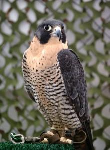 Falco_peregrinus_tethered